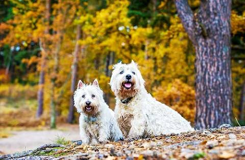 White West Highland Terriers walking with a backdrop of autumn colour