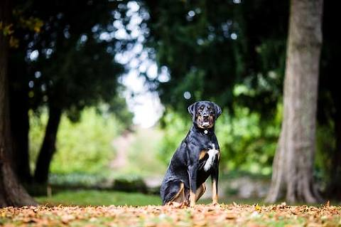 Black labrador Rottweiler Cross photography in park