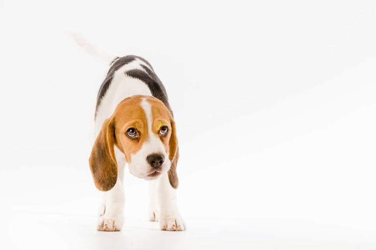 Studio pet photography of Beagle who looks like he's done something wrong